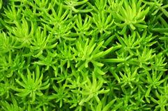 绿色多汁植物叶子 免版税库存图片