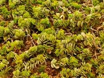绿色多汁植物在斯瓦科普蒙德附近的纳米比亚沙漠在纳米比亚 库存照片