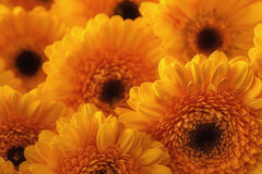 黄色大丁草、宏观摄影和花背景照片  黄色雏菊 库存图片