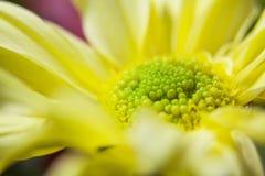 黄色大丁草和桃红色 免版税图库摄影