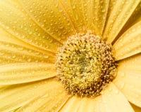 黄色大丁草有白色背景 库存照片