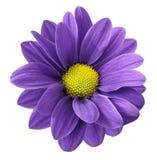 紫色大丁草花 白色与裁减路线的被隔绝的背景 特写镜头 没有影子 对设计