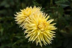 黄色大丽花在庭院里照亮太阳` s光芒在夏天 免版税图库摄影