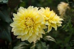 黄色大丽花在庭院里照亮太阳` s光芒在夏天 免版税库存照片