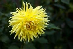 黄色大丽花在庭院里照亮太阳` s光芒在夏天 库存照片