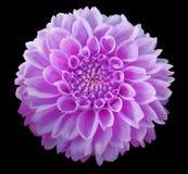 紫色大丽花花,黑背景隔绝与裁减路线 特写镜头 库存图片