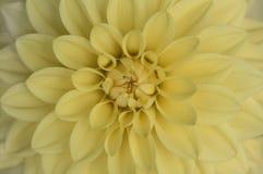 黄色大丽花绽放宏指令 库存图片