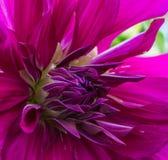 紫色大丽花 免版税库存照片