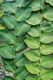 绿色大在庭院背景中装饰的叶子老墙壁 库存图片