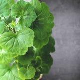 绿色大竺葵灌木 库存照片
