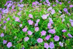 紫色大竺葵花在庭院里。 库存照片