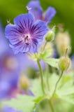紫色大竺葵 免版税库存图片
