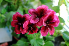紫色大竺葵 免版税库存照片