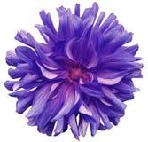紫色大花,在白色背景的桃红色中心隔绝与裁减路线 特写镜头 大粗野的花 对设计 免版税库存照片