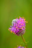 紫色大草原三叶草-达列亚purpurea 免版税库存图片