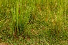 绿色大草原放牧特写镜头 库存照片