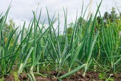 绿色大蒜叶子生长 免版税库存照片