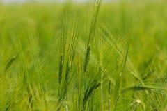 绿色大麦域 免版税库存照片