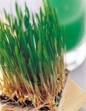 绿色大麦植物 免版税库存照片