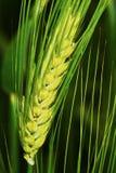 绿色大麦钉 库存图片