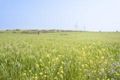绿色大麦领域和黄色油菜风景开花 免版税库存图片