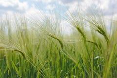 绿色大麦领域,关闭 免版税库存图片