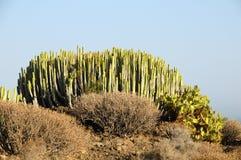 绿色大仙人掌在沙漠 图库摄影