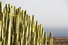 绿色大仙人掌在沙漠 免版税图库摄影