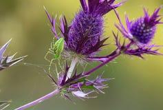 绿色天猫座蜘蛛(Peucetia viridans) 免版税库存照片