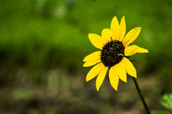 黄色太阳花在庭院里 免版税图库摄影