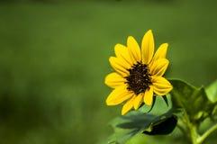 黄色太阳花在庭院里 免版税库存图片