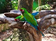 绿色夫妇在Xcaret公园墨西哥模仿金刚鹦鹉 图库摄影