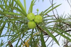 黄色夹竹桃果子或幸运的坚果 免版税库存照片