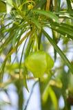 绿色夹竹桃果子 库存照片