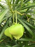 绿色夹竹桃果子 免版税库存照片