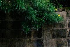 黄色夹竹桃 免版税库存图片