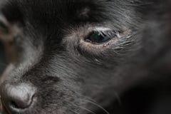 黑色奇瓦瓦狗 库存照片