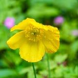 黄色威尔士鸦片的特写镜头在自然的有被弄脏的背景 免版税库存图片