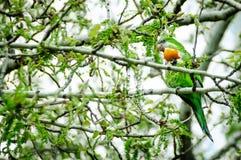 绿色孔雀 图库摄影