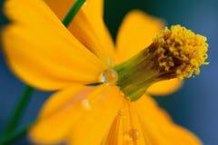 黄色宏观纹理上色了波斯菊与水滴的花表面 免版税库存图片