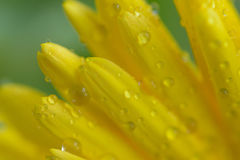 黄色宏观纹理上色了雏菊与水滴的花表面 免版税库存照片