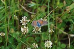 紫色射击铜(Lycaena alciphron) 免版税库存照片