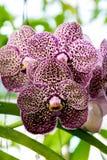 紫色小点兰花 免版税图库摄影