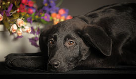 黑色小狗 免版税图库摄影