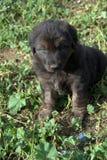 黑色小狗 图库摄影