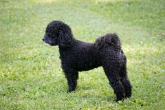 黑色小狗 免版税库存图片
