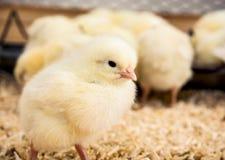 黄色小的小鸡 免版税库存照片