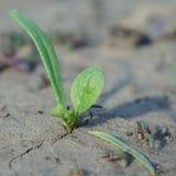 绿色小的新芽 免版税库存图片