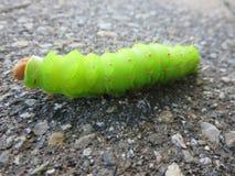 绿色尖毛虫在缅因 库存照片