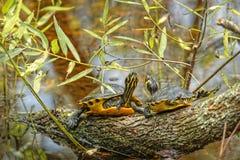 黄色尾巴乌龟 库存图片